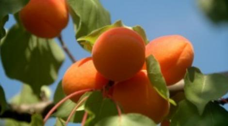 Les Vergers du Bosquet, Abricots