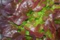 Salade Chêne brune