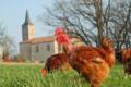 Les poulets du Campanier