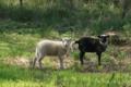le bois du barde,  Viande d'agneau
