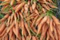 La Ferme de Mangorvenec, carottes bio