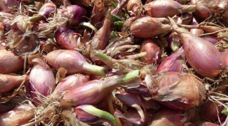 La Ferme de Mangorvenec, oignons de florence