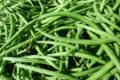 La Ferme de Mangorvenec, haricots verts