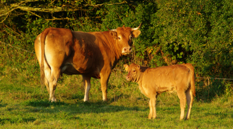 Caissettes de viande bovine