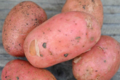 """pomme de terre """"Yona"""""""