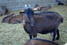 Chèvrerie les Guyettes