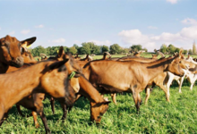 Fromagerie SEGALAFROM, La Colline aux chèvres