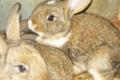 Ferme Lecoq, lapins