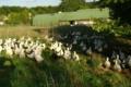 Canard des Londes