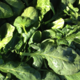 épinards feuilles bio