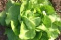 salade laitue bio