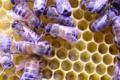 Thomas Brochier, apiculteur