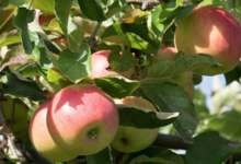 Pommes de Savoie