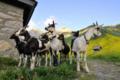 Chèvrerie des Panloups
