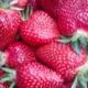 les jardins du Taillefer, fraises bio