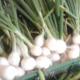 les jardins du Taillefer, oignon bio
