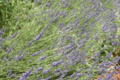 Sirop Artisanal - Fleurs Lavandin