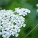 Les jardins d'Amélie Blanche, Achillée millefeuille