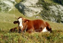 Le Farto de Thônes, coopérative de reblochon fermier
