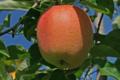 Pommes des Vergers Tissot