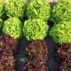 Le Potager Gillonnois, salades