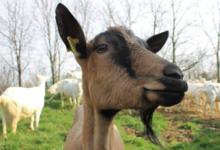 La chèvrerie des Filletières