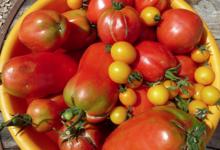 Le jardin du clos d'Allingues, tomates