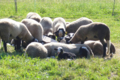 agneau fermier de race « Bizet »