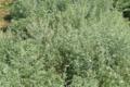 La Grande Absinthe (Artemisia Absinthium)