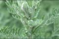 La Petite Absinthe (Artemisia Pontica)
