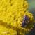 Achillee-tomenteuse-abeille