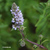 Menthe-glaciale-inflorescence