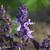 Basilic-pourpre-inflorescence