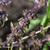 Basilic-pourpre-fruit