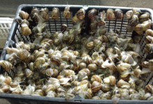 L'Escargot du Riberal, escargots