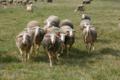 Fromagerie La Pastoure, viande d'agneau