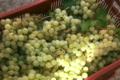 Domaine Saqué, raisin