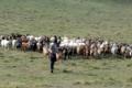 Henri Jacquin - Elevage Pastoral Chèvres Brebis