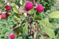 Baies Fruitet, framboises