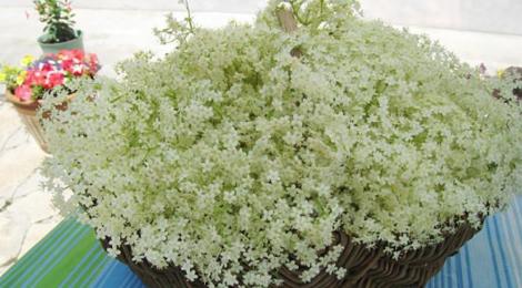 Les petits fruits de Jef, fleurs de sureau