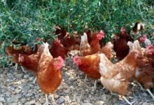 Mas De La Pedre Rodone, poulets
