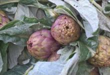 Saveurs des Pampas, artichaut