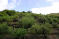 Les Oliveraies de la Baillaury, l'olivier catalan