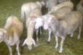 Le Calmadou, viande d'agneau