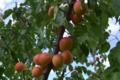 Les Vergers du Mont Canigou, abricots