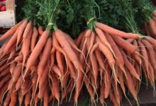 Le jardin bio de Laurie, carottes