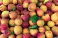 Le jardin bio de Laurie, abricots