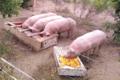 """Fromagerie la """"Cabrayrisse"""", colis de viande de porc"""