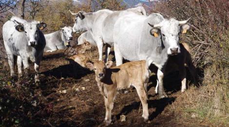 Ferme d'Escoums, viande de veau ou de vache bio