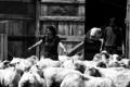 Geneviève Delude, agneaux